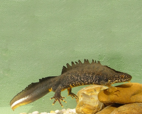 The male great crested newt. Picture Jim Foster/Natural England