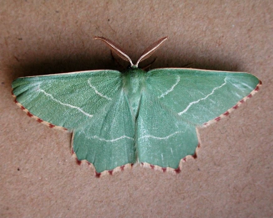 The Sussex emerald moth is unique to Dungeness. Picture: EDF