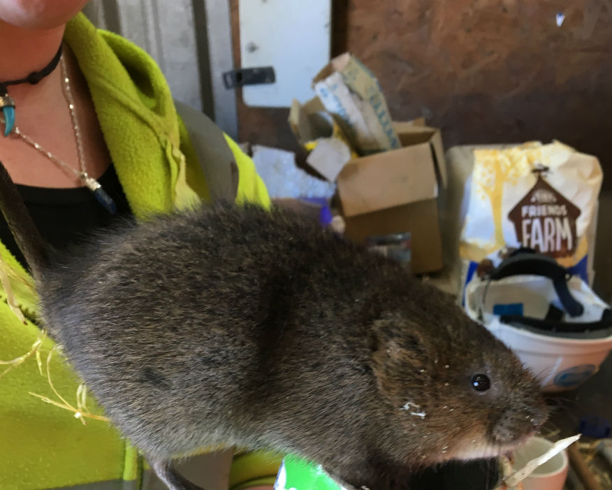 Home from home: water voles settle into temporary residence. Picture: Aggregate Industries
