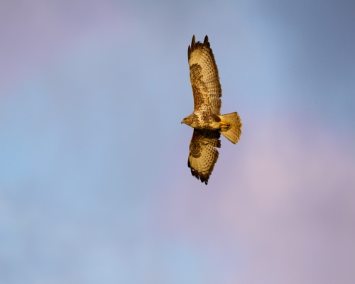 Rocky ledges, open spaces and grasses found at quarries attract buzzards. Picture: RSPB