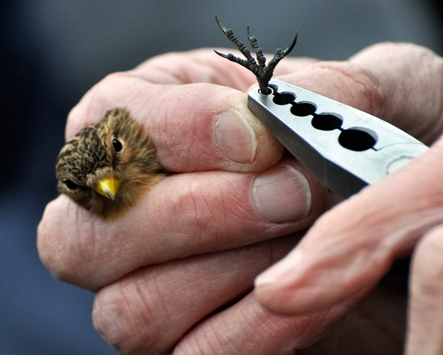 Tagging a twite: numbers are now on the rise. Photograph: Cemex UK/David Hatfull