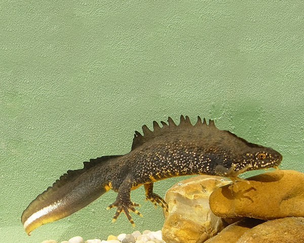 Protected species: great crested newt. Photograph: Jim Foster/Natural England