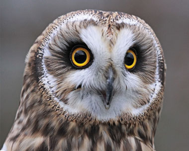 Short-eared owls can be found at the quarry (credit: Tim Harvey)