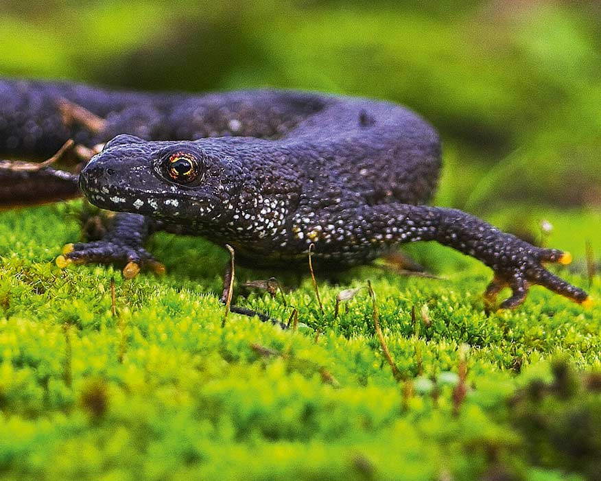 New DNA test helps detect great crested newts (photograph: LUC)