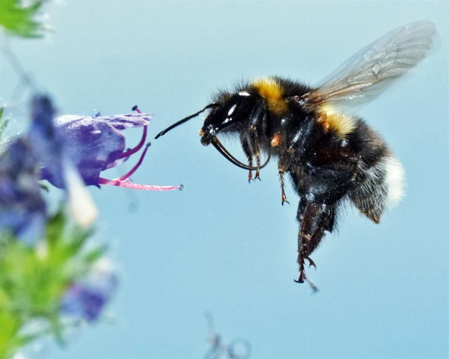 Bumblebees help pollinate 80% of European crop species. Photograph: BBCT