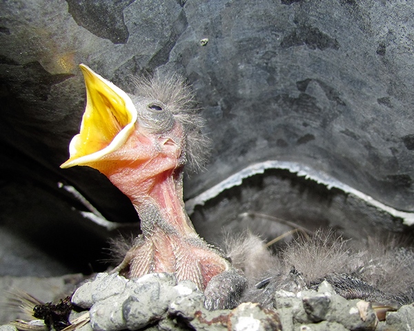 Photo competition winner: swallows nesting in a power shed in Tarmac's Dry Rigg quarry, Yorkshire. Photograph: Michael Cardus/MPA