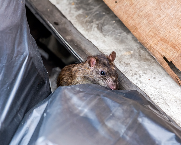 Rats were found to be attracted to excess waste. Photo:Chanawat Phadwichit/123RF