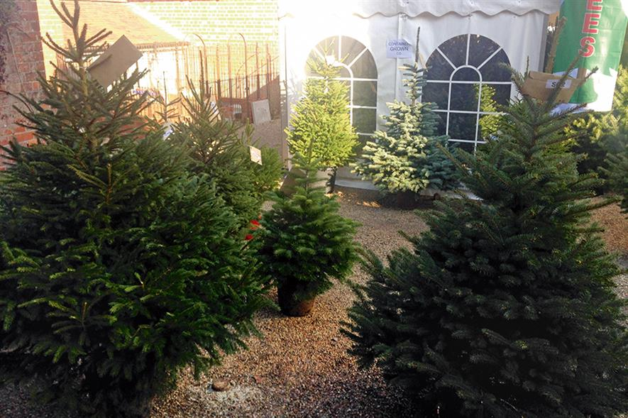 Christmas trees: market is set to retain sales and prices at up to £50 for a 6ft Nordman at garden centres this year (HW)