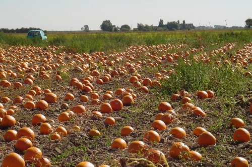 Pumpkins ready for harvest - image: David Bowman