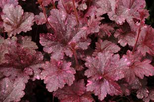 Heuchera 'Midnight Rose'  - photo: Terranova