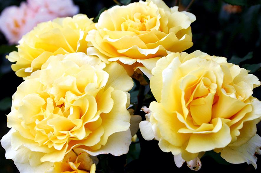 'Sunny Sky': 2016 rose of the year will be on sale from this autumn