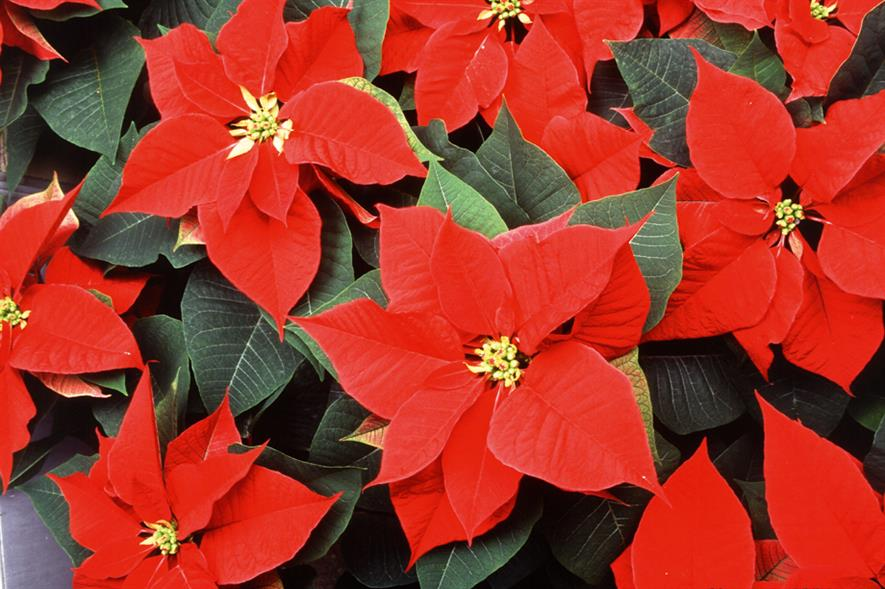 Poinsettias: three million expected to be grown in the UK this year with prices similar to those last year
