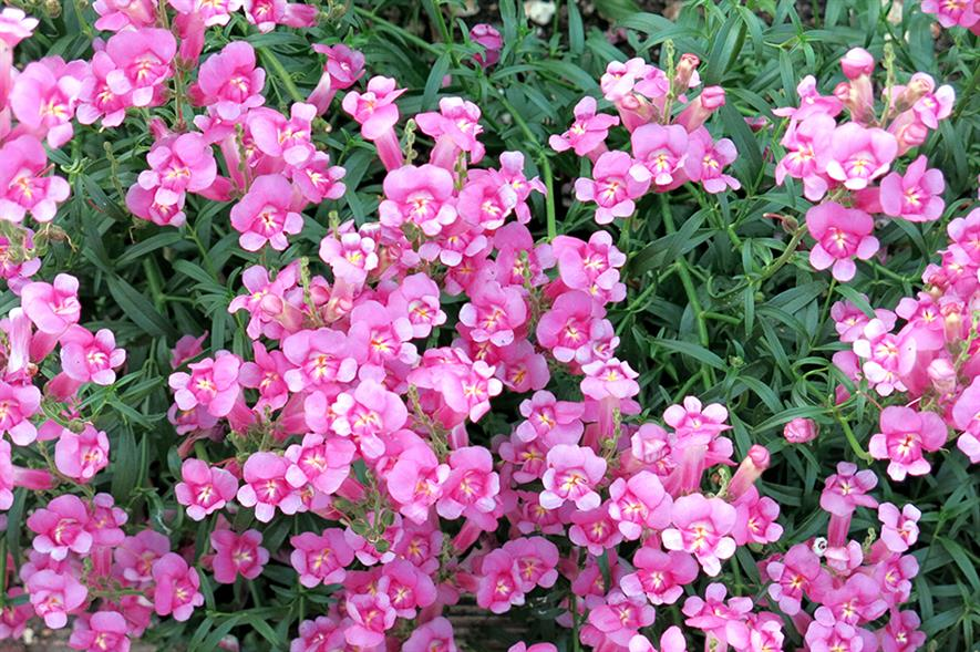 Pretty in Pink: antirrhinum bred by Peter Moore is expected to catch the eye on its launch at the HTA National Plant Show - image: Peter Moore