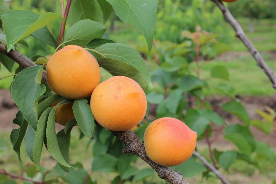 Apricot Compacta -Frank P Matthews