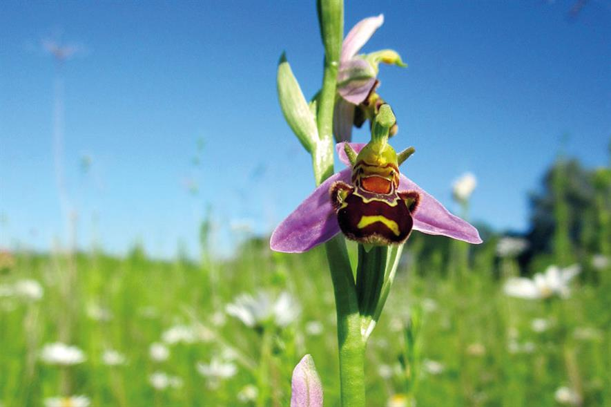 Bee orchids: rare wildlife at risk from development