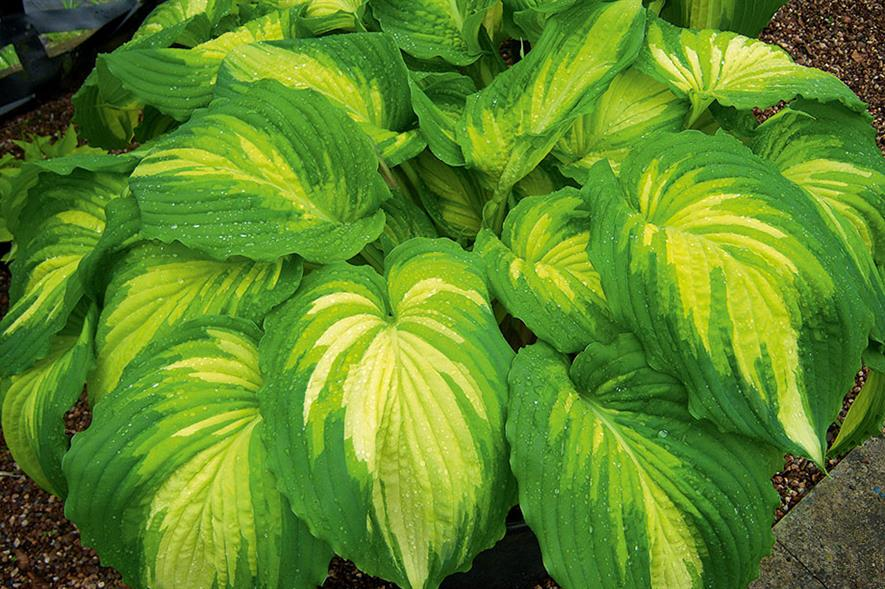 Main attraction: Bowden Hostas will be featured on the central monument at 2016's RHS Chelsea Flower Show