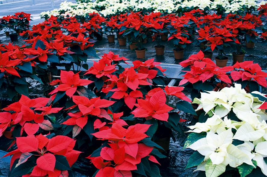 Poinsettia: British Protected Ornamentals Association says it expects the market to be roughly similar to last year - image: HW