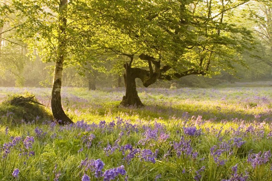 Bluebells at Woodland Trust Ashenbank Wood - credit: Georgina Smith/WTML