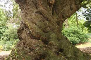 An ancient Cypress oak - photo: Gavin McEwan