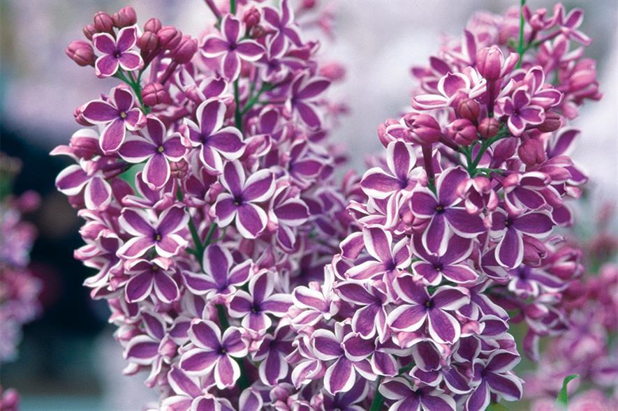 S. vulgaris 'Sensation' - image: Floramedia