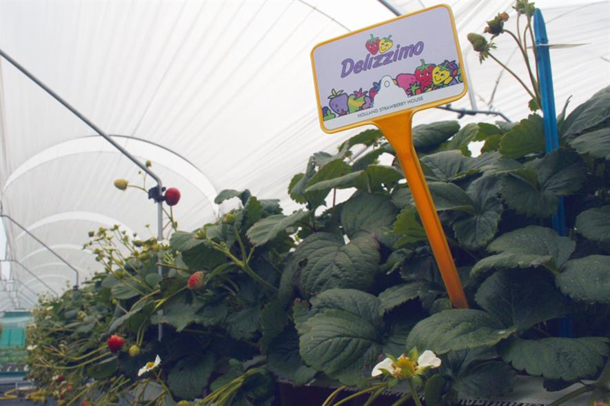 Delizzimo: strawberry variety - image: HW