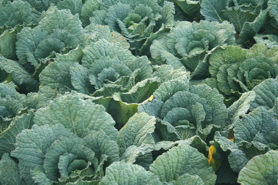 Brassicas: land under pressure