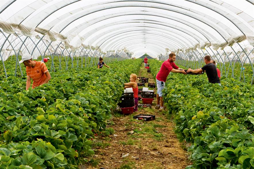 Strawberry crop: volumes currently eight per cent greater than same time last year and harvesting is expected to continue into December