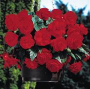 Begonia Sensation Scarlet - Image: Plant Raisers