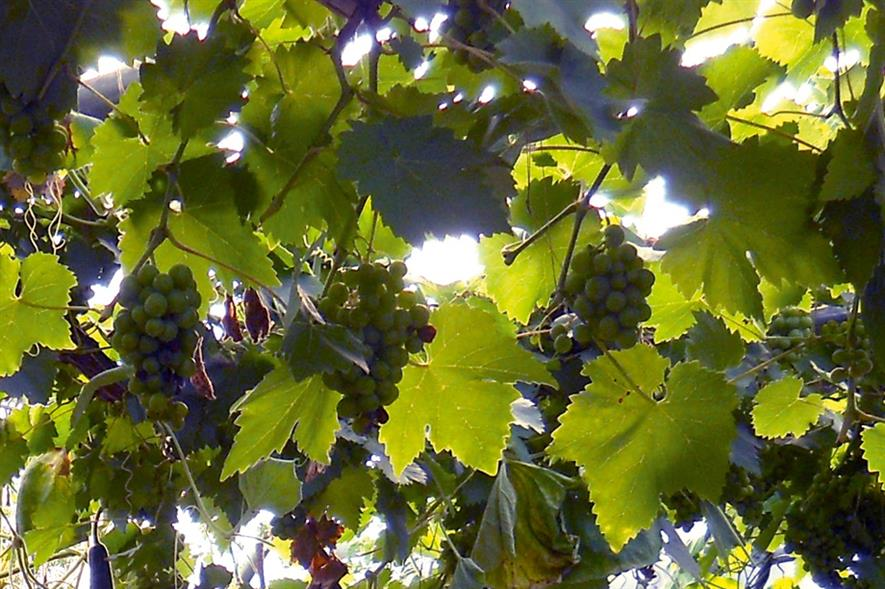 Dessert grapes: growing crop in polytunnel avoids mildew problems - image: Hattheant