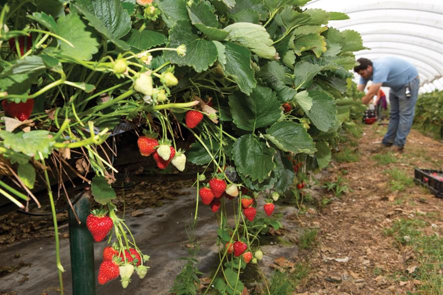 Soft fruit: many growers have renewed confidence to invest in production on the back of a record season this year - image: HW