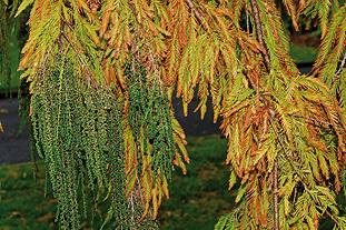 Taxodium mucronatum - image: FlickR/Tony Rodd