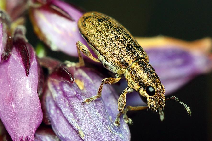 Weevil: damaging pest of peas
