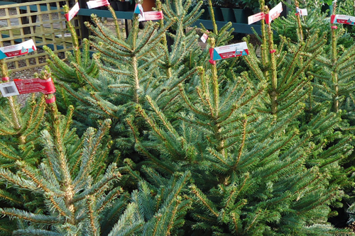 Christmas tree pricing has varied by up to £25 this year - image: HW