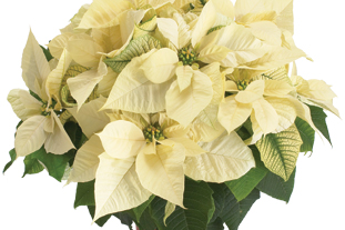 Euphorbia pulcherrima 'Polar Bear'. Image: Ecke