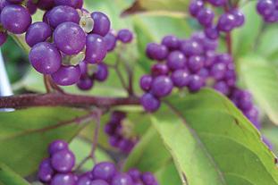 Callicarpa dichotoma 'Issai' Image: Flickr/Jennifer