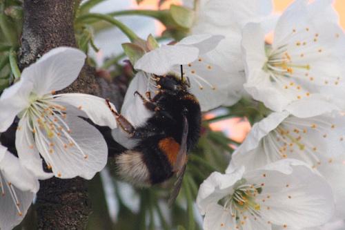 bumblebee - image: Karamellzucker
