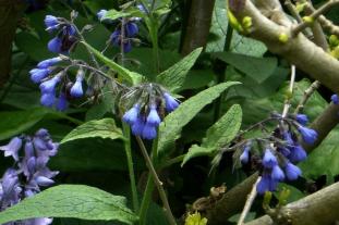 Symphytum caucasicum - image: FlickR-Steve Law