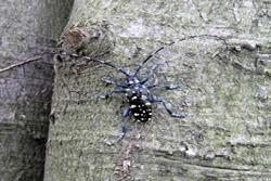 Adult male citrus longhorn beetle - photo: Defra