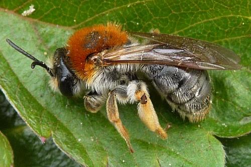 Early mining bee (Andrena haemorrhoa) - image:Gail Hampshire