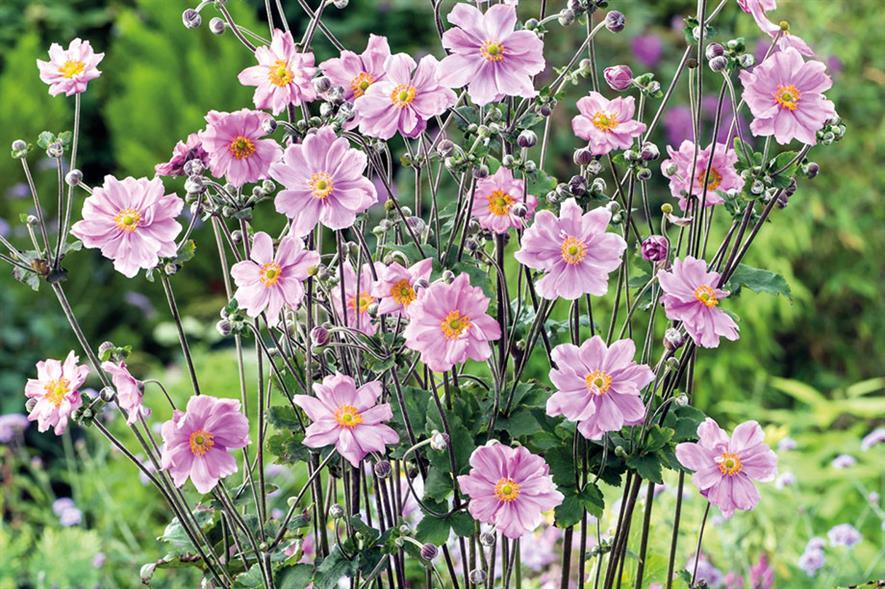 Anemone × hybrida 'Königin Charlotte' - all images: Floramedia