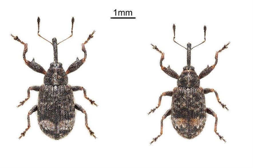 Male (left) and female of the beetle Anthonomus spilotus; note greatly enlarged size. Image: NHM