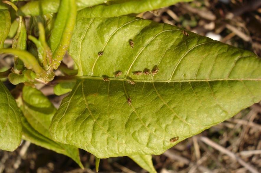 Aphalara itadori on Japanese knotweed leaves - image: CABI