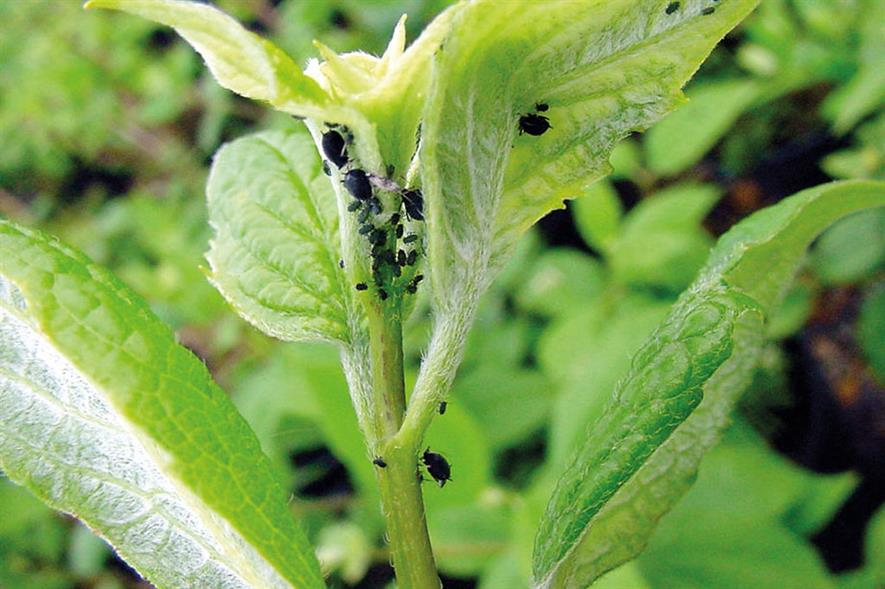 Aphid on Philadelphus - image: Dove Associates