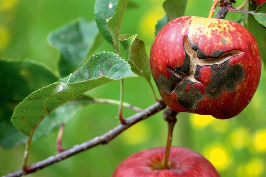 Scab: fungus disfigures apples - image: Luke Milliron