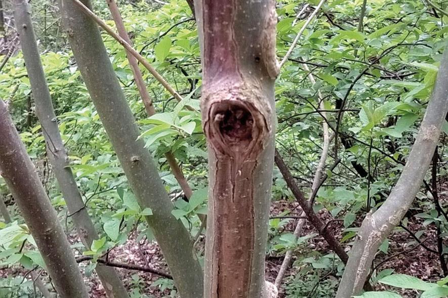 Symptoms of ash dieback - image: Dove Associates