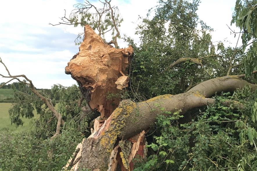 A tree damaged by ash dieback. Image: Lockhart Garratt