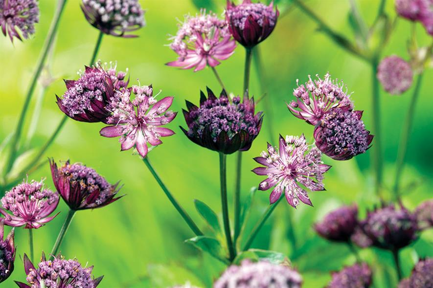 Astrantia major - all images: Floramedia