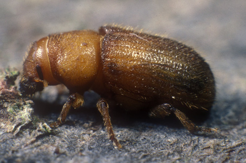 The great spruce bark beetle (image: Forestry Commission)