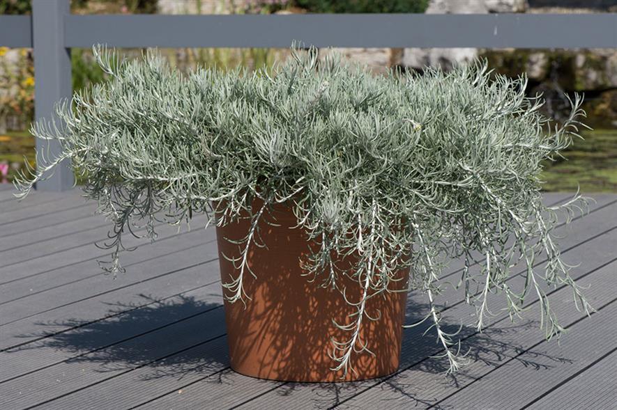 Helichrysum Silvio Spreading - credit: Ball Colegrave