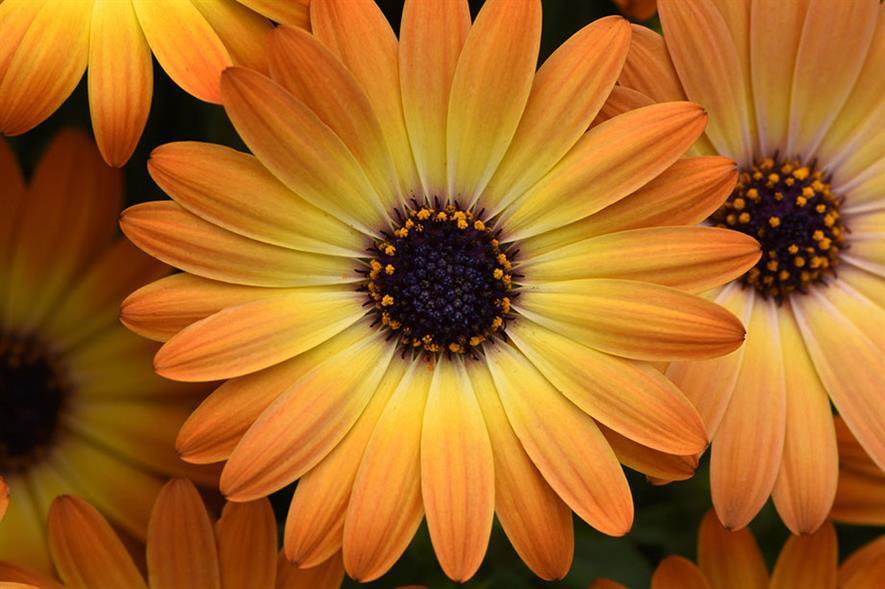 Osteospermum 'Serenity™ Sunshine Beauty'  - credit: Ball Colegrave